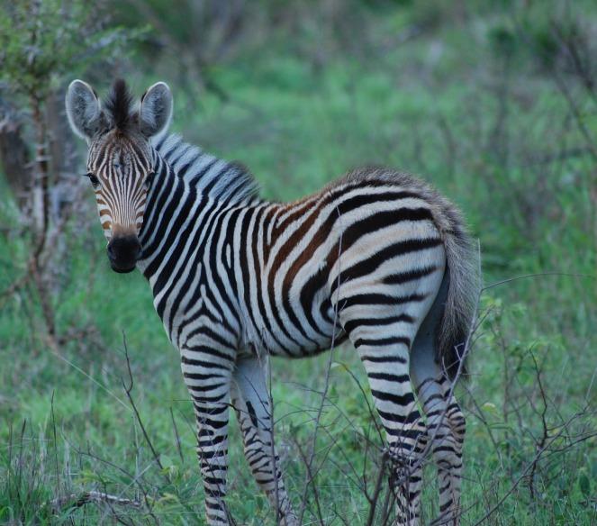 zebra-277435
