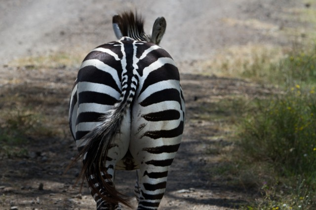 zebra-279977